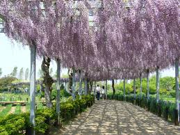 file aquatic plant garden wisteria trellis sawara katori city