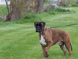 boxer dog disposition luna ray boxers puppies for sale