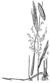 native plants of pakistan texas wild rice federal u0026 state listed plants of texas
