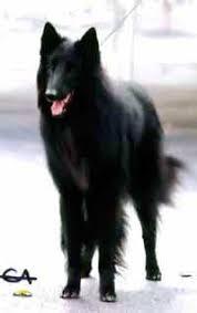 belgian sheepdog breeders michigan color belgian sheepdog club of america