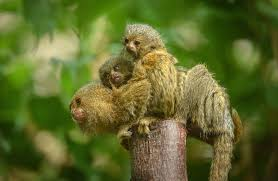 pgymy marmoset babies in uk photos
