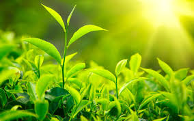 green tea as the cure to many diseases the tea trove