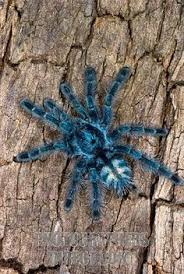 a large colorful tarantula called the rameshwaram ornamental