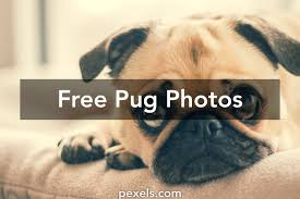 free stock photos of pug pexels