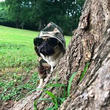 doug the pug going undercover so i don t to see
