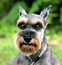 schnauzer hair styles style dog hair cuts fun animals wiki videos pictures stories