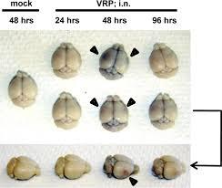 Blood Brain Barrier Anatomy The Role Of The Blood Brain Barrier During Venezuelan Equine