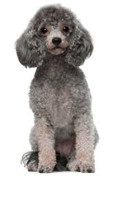 affenpinscher animal planet dog breed questionnaire dog breed selector animal planet