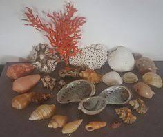 where to buy seashells buy sea shells sea shells from jeffreys bay cleaned