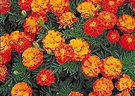 amazon com 1000 french marigold sparky mix seeds good addition