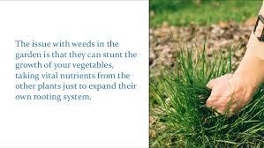 weeds in your vegetable garden