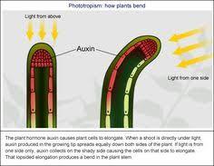 auxin hormones in plants botany homeschool pinterest