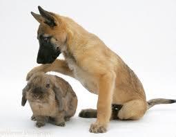 belgian sheepdog uk pets belgian shepherd dog pup with a lionhead rabbit photo wp21844