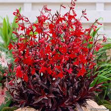 cardinal flower lobelia cardinal flower american