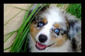 south texas australian shepherd rescue blue horizon toy australian shepherds