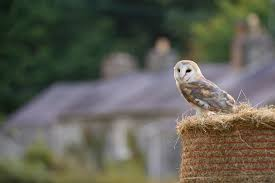 What Does A Barn Owl Look Like Helping Barn Owls In The Uk The Wildlife Trusts