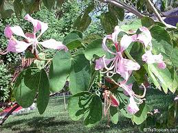 bauhinia purpurea phanera purpurea orchid tree butterfly tree