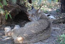 Minnesota wild animals images Lynx wildlife science center JPG