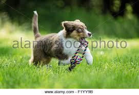 running with australian shepherd puppy young australian shepherd dog retrieving toy stock photo