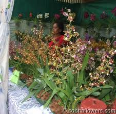 buy an orchid india orchid shows buy orchids in india indian orchids sobha
