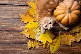 how to cook a thanksgiving meal that your cat can enjoy cattime