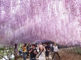 japan flower tunnel the wisteria flower tunnel japan steemit