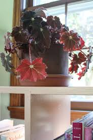 my giant strawberry shifting focus to the indoor garden begonias