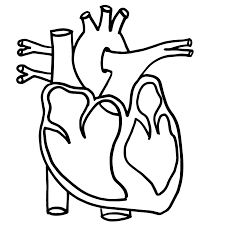anatomical heart coloring page coloring home