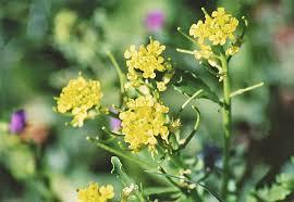 san diego native plants list camissonia u0027s ca native plant life list rorippa palustris yellow