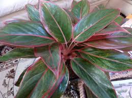 low light outdoor plants trendy indoor low light plants has sansevieria low light
