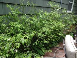 Bushes For Landscaping Renew Landscaping Bushes Whitevision Info
