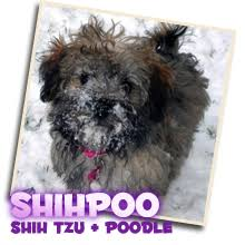 shi poo shihpoo puppies archives sunny day puppies