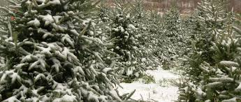 christmas tree farm in north carolina christmas trees wholesale