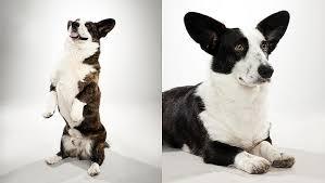 australian shepherd vs corgi cardigan welsh corgi dog breed selector animal planet