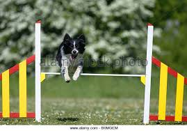 australian shepherd agility jumping australian shepherd stock photos u0026 jumping australian