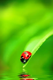the fascinating reason why ladybugs are called that