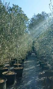 olive tree growers olive tree growers olive tree suppliers