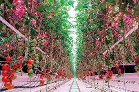 philips led grow light led grower lighting systems horticulture week