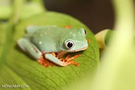tree frogs pictures