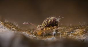 springtail control and treatments for the home yard and garden