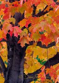 Backyard Sugaring Sugar Maple Trees Sugar Maple Tree For Our Backyard Due To