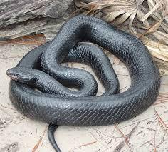 eastern indigo snake wikipedia