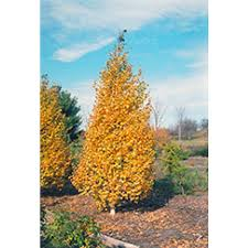 betula birch shade ornamental trees outdoor living
