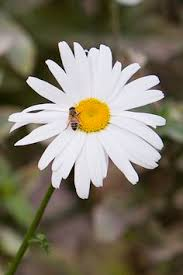 Daisy The Flower - background backgrounds wallpaper wallpapers image