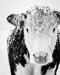 best 25 cow print ideas on pinterest cow decor farmhouse fine