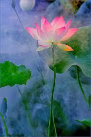 Blue Lotus Flower Meaning - 114 best lotus ground images on pinterest lotus flower lotus