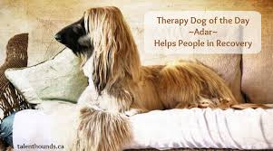 does an afghan hound shed our afghan therapy dog of the day adar helps people in recovery