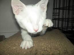 Blind Cat Sanctuary Smudge The Blind Cat Journey To Permanent Home Love Meow