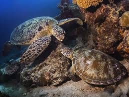 imagenes tortugas verdes tortuga verde tortuga marina información y características