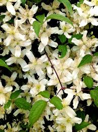 montana native plants wshg net clematis u2014 the perfect companion plant featured the